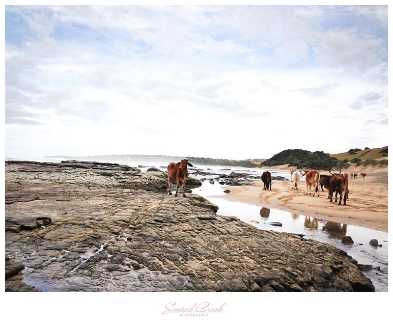 Wild Coast Cows